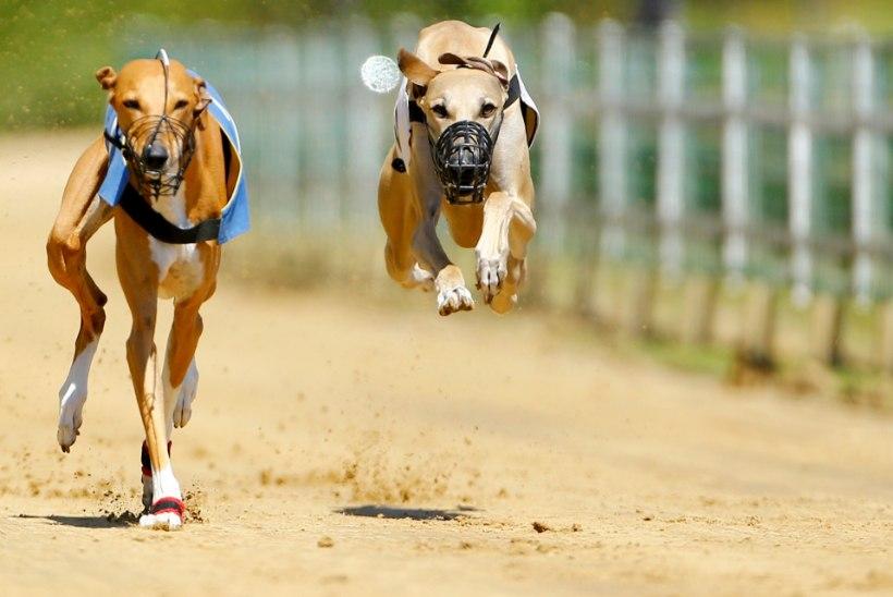 Sportlik massimõrv? Inglismaal suri aastaga 1000 koera