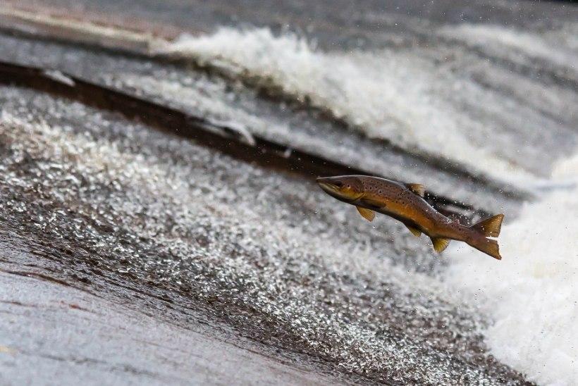 Väärt kalad pääsesid paisude tagant Pärnu jõkke