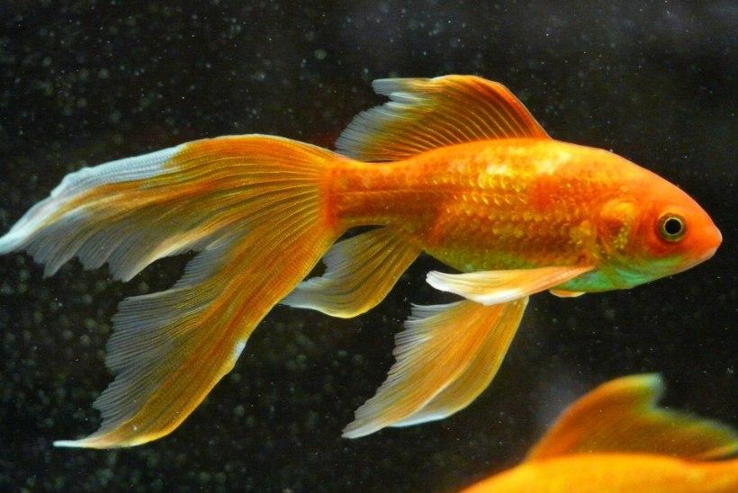 Kempsu visatud kuldkalad ummistavad võõrliigina Ameerika suurt järvistut?