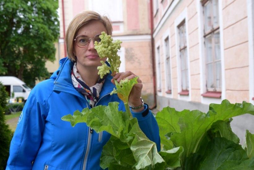 GALERII   Roosna-Allikul toimub festival eestlaste kevadise lemmiku rabarberi auks