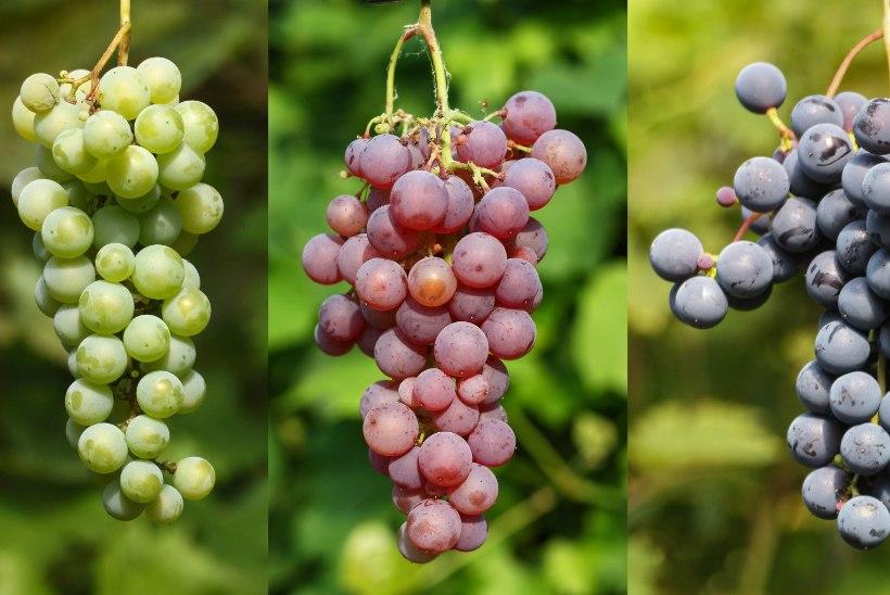 Viinamarjad oma aiast