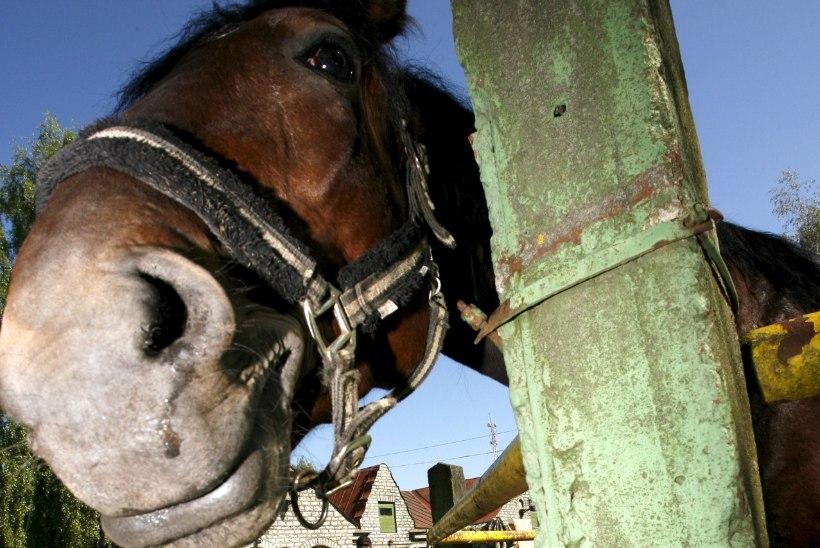 Kuidas näitleja laulupeol hobusega maadles