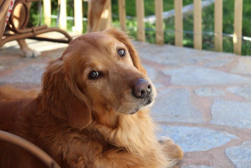 HAMBAD SÜGELESID: telefoni närinud koer helistas kogemata hädaabinumbrile