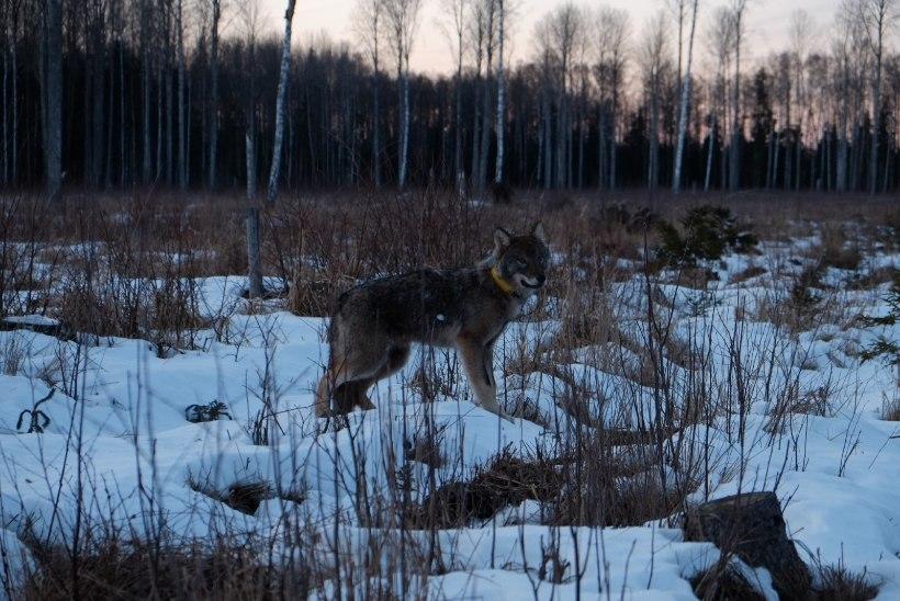 Raadiosaatjaga hunt leidis enne kadumajäämist kaaslase