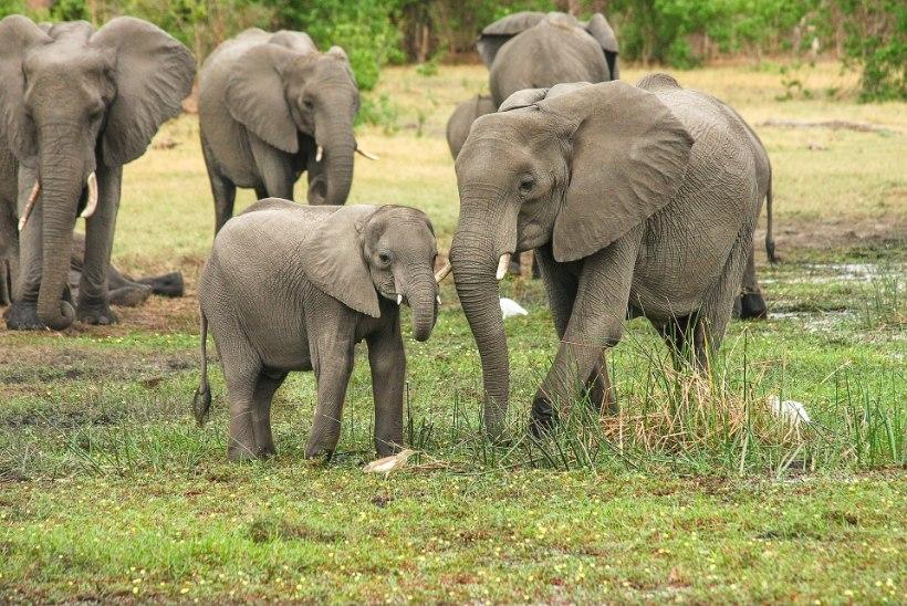 LOOMI LIIGA PALJU: Zimbabwe peab lahti saama rohkem kui 30 000 elevandist