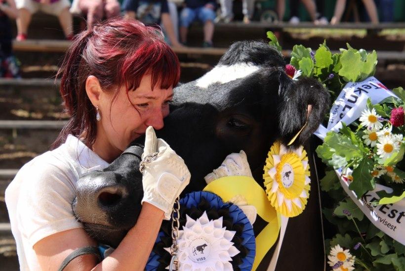 GALERII | Lehmade iludusvõistlus – 30. korda valitakse kauneim VISS