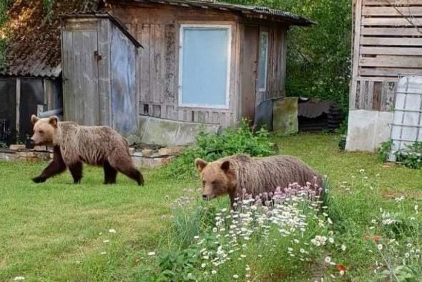 FOTOD JA VIDEO | Ettevaatust! Valga linnas liiguvad ringi karud