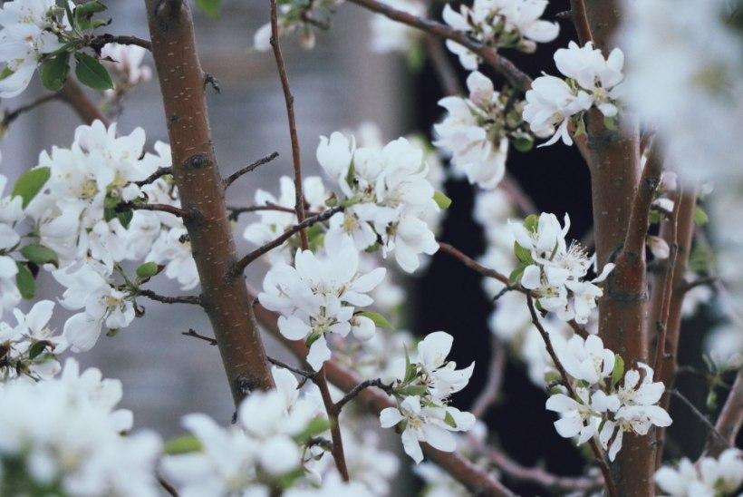 JUUNI AIAS: kanna hoolt viljapuude eest, korrasta iluaeda ja toimeta peenramaal