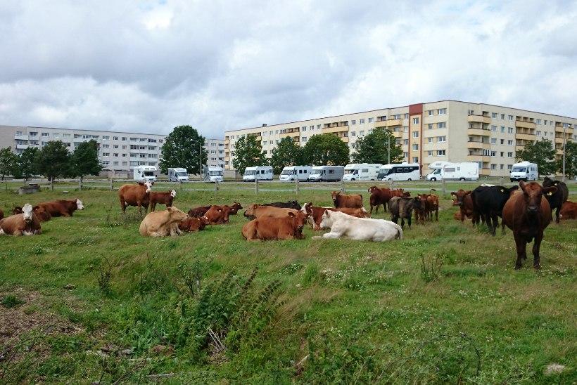 Ka sel suvel on Pärnu rannaniitudele oodata 200 veist, neist 75 on juba kohal