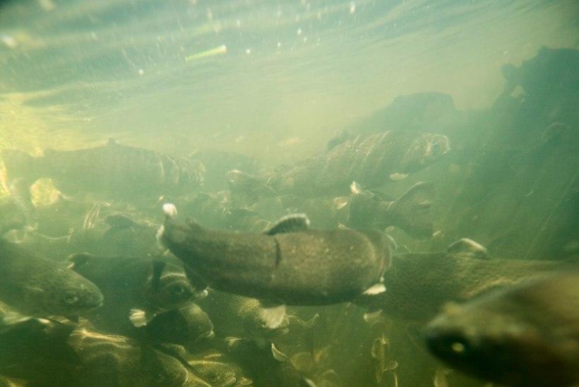 Eesti sai teise ametlikult taudivaba kalakasvanduse