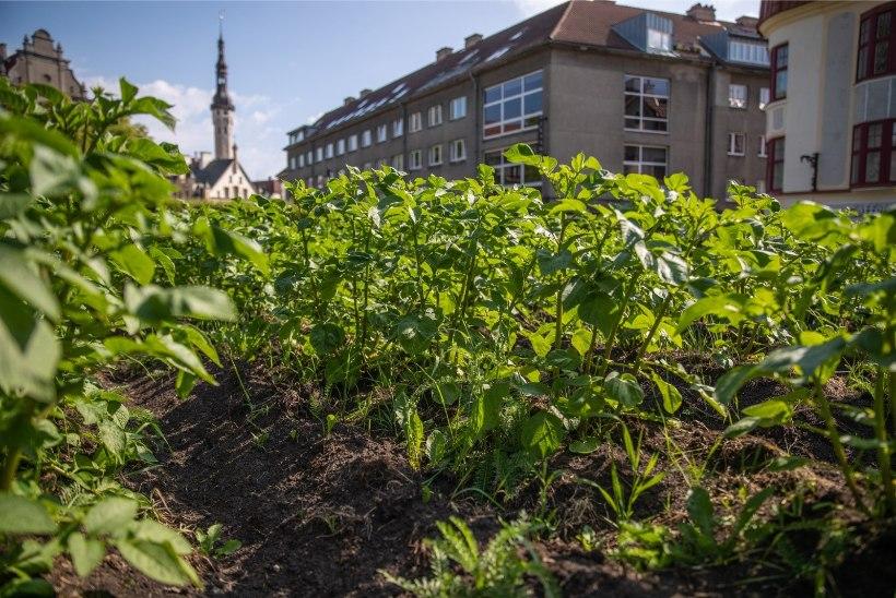 FOTOD | Tallinna vanalinna südamesse istutatud kartulitaimed kasvavad jõudsalt