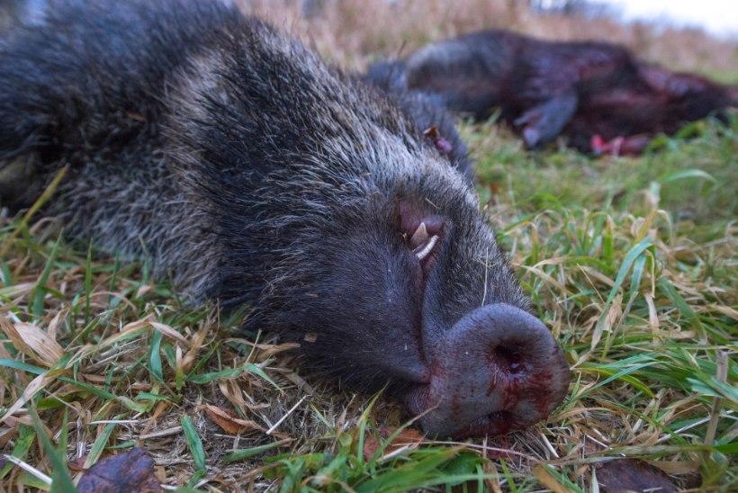 Järva- ja Põlvamaalt leiti seakatkuga nakatunud metssigu
