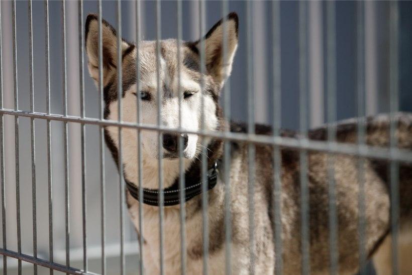 Asjatu paanika! Tartu kodutute loomade varjupaiga ligipääsetavuse eest Metallica kontserdi ajal hoolitseti juba pool aastat tagasi