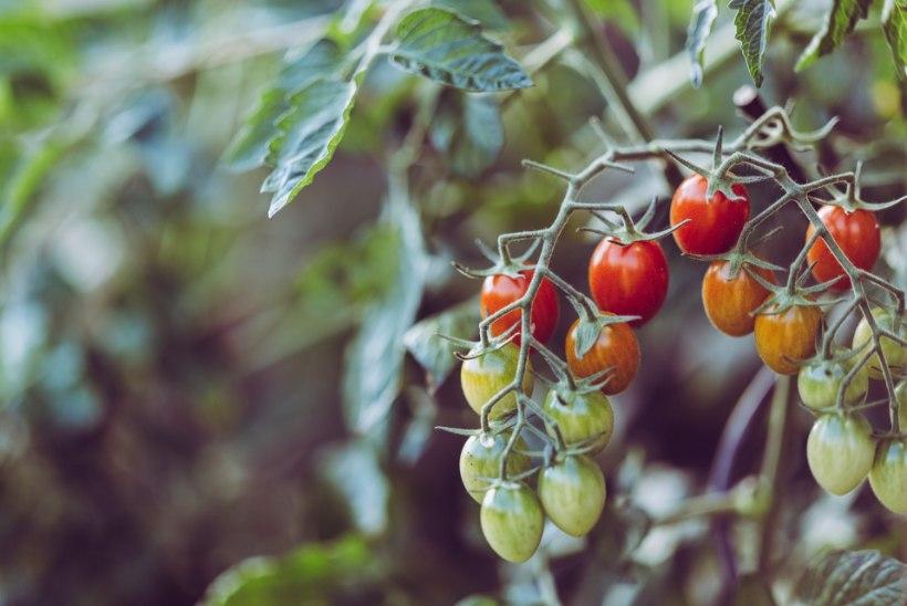 ÖÖKÜLMAD JUULIS: 4 nippi, kuidas kaitsta maasikaid, tomateid ja teisi aiataimi