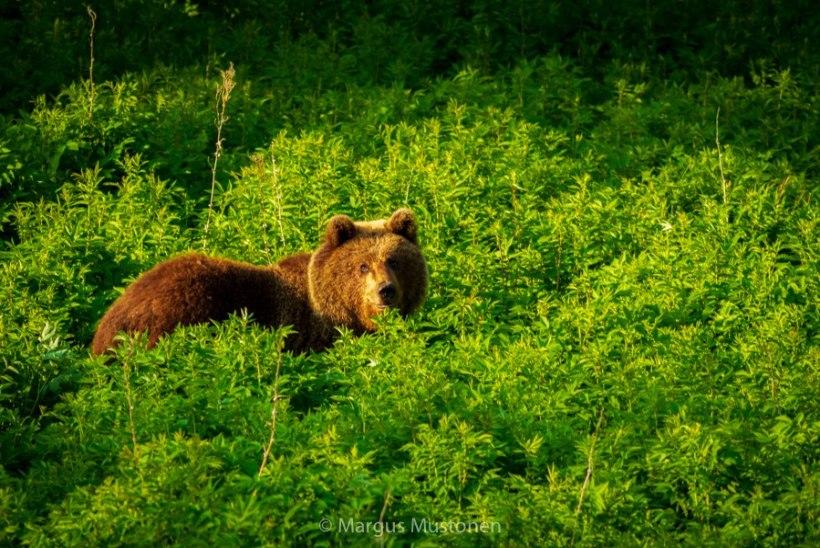 VIDEO JA FOTOD | KUTSUMATA KÜLALINE KÜTITUD: Aegviidu kandis ülbitsenud karu sai karmi karistuse
