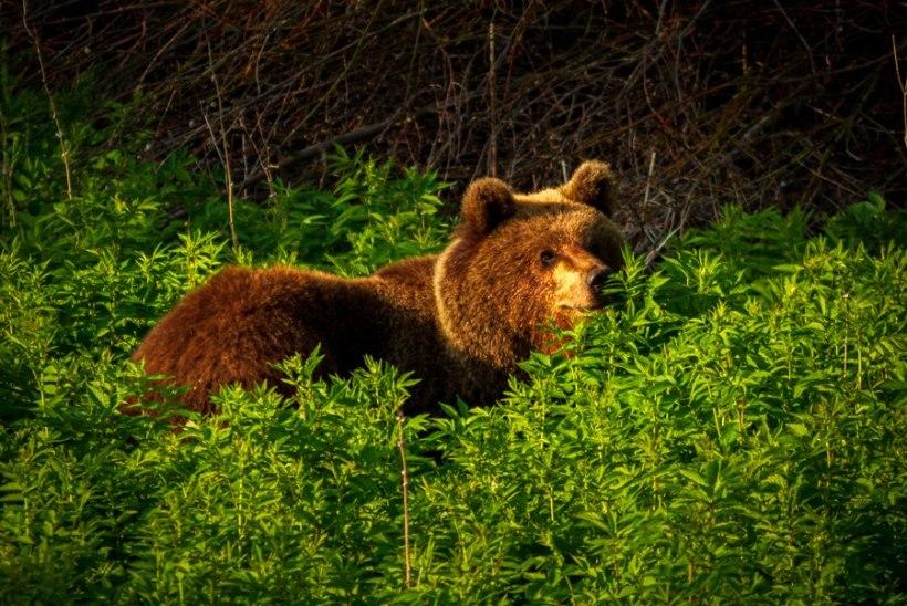 Metsloomaühing nördinud: Aegviidu karule ei antud esialgset õiguskaitset