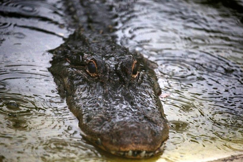 USA politsei hoiatab inimesi narkouimas alligaatorite eest