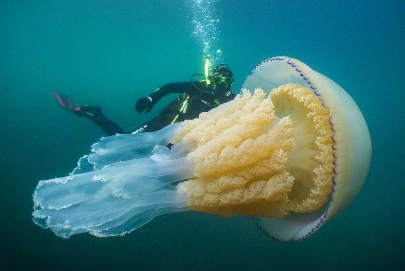 HARULDANE: Inglise bioloog kohtus ülisuure meduusiga