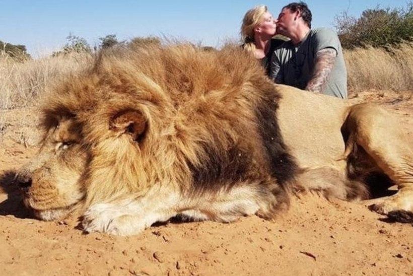 MAITSETU FOTO? Paari suudlus tapetud lõvi juures tekitas pahameeletormi