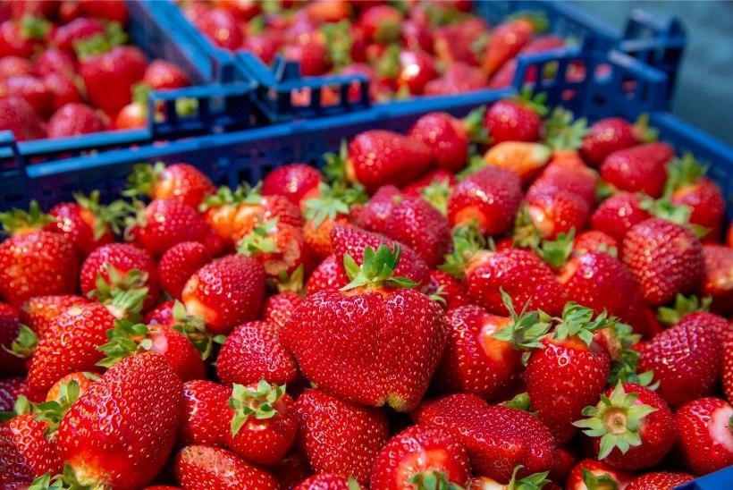 AMET: skandaalne Sepakõrtsi talu on andnud vastuolulisi ütlusi, eiranud seadusi ja nende maasikapõld on rohtunud