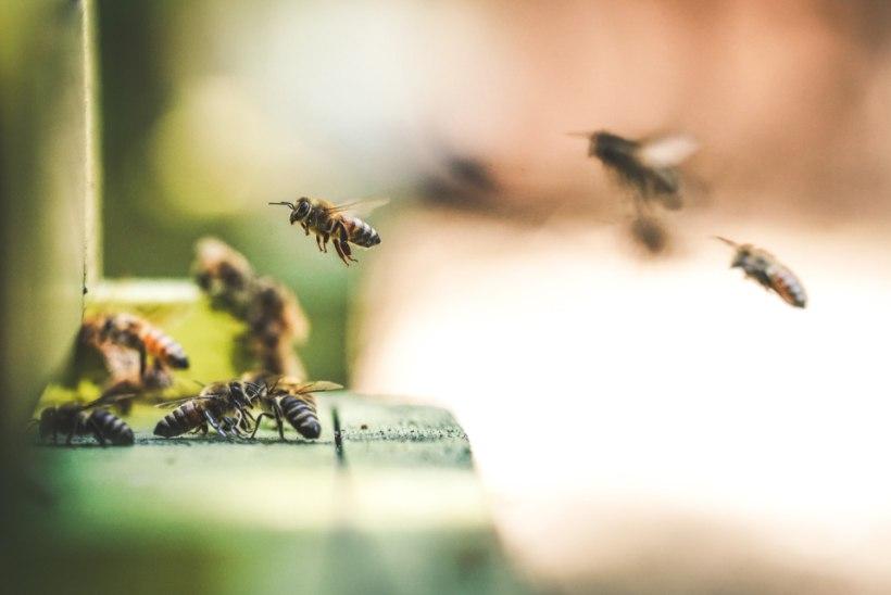 Mida teha, kui mesilane nõelab, sääsepunnid sügelevad või avastad nahalt puugi?