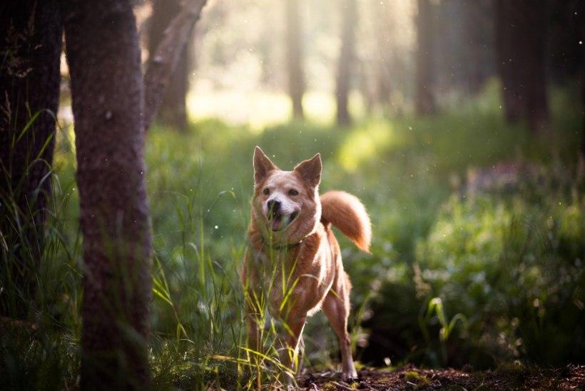 Koer paneb aiast plehku? Ekspert annab nõu, kuidas seda ära hoida!