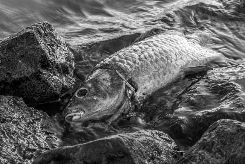 Jaagupi sadamas surevad kalad hapnikunälga