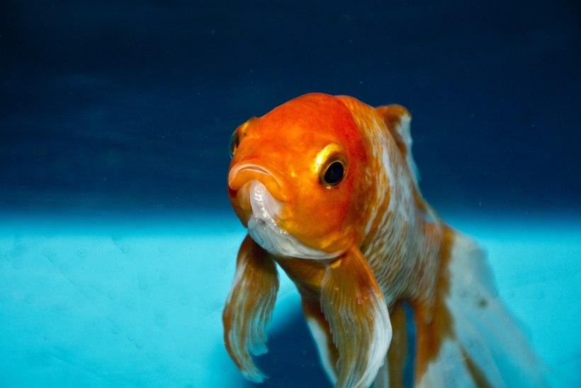 KÕIK LEMMIKU NIMEL: mees ehitas vigasele kuldkalale invaabivahendi