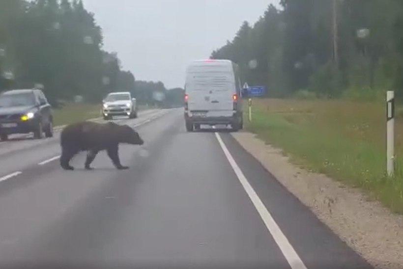 VIDEO | Karu peatas Valgamaal tee ületamiseks liikluse