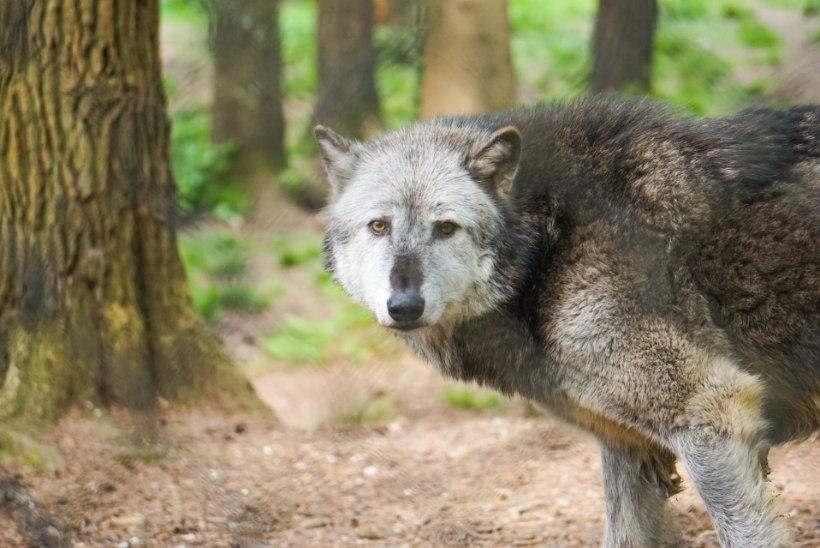 PAANIKAKS POLE PÕHJUST: Hiiumaal naist rünnanud loom polnudki hunt