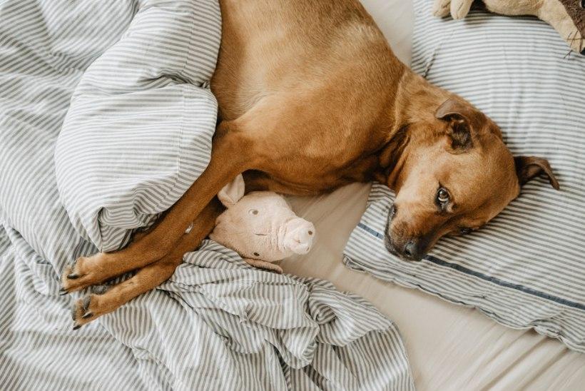 Kas koer võib voodis magada? Ekspert toob selgust!