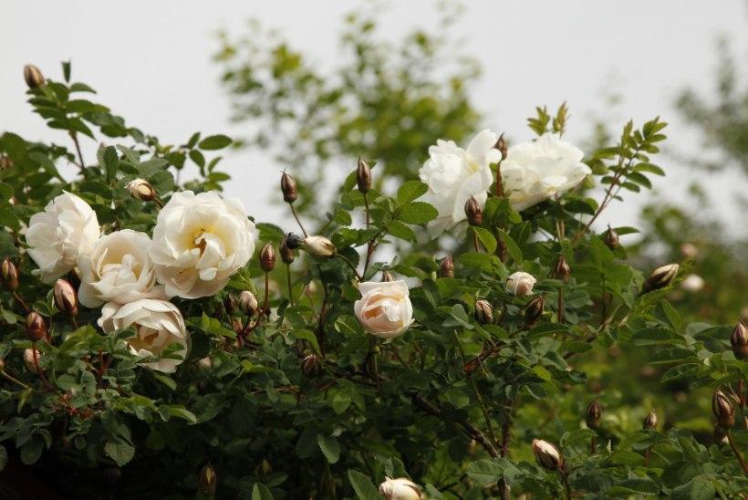Pargiroosid aeda: millist sorti valida?