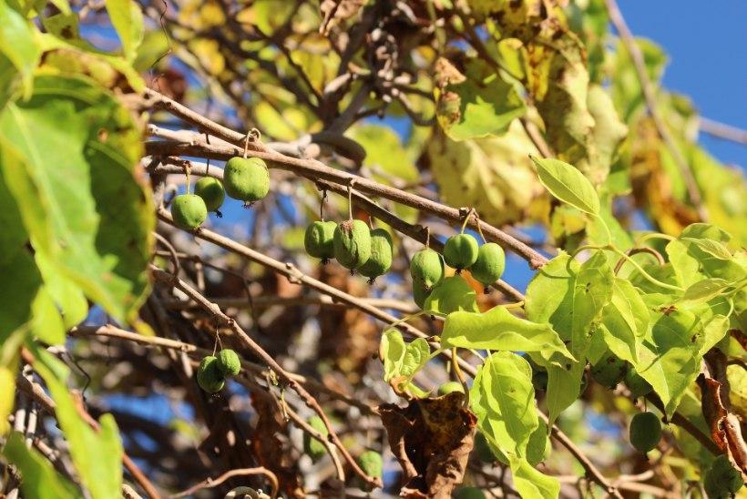 Eksootiline rohelus: milliseid troopilisi taimi võiks koduaias kasvatada?