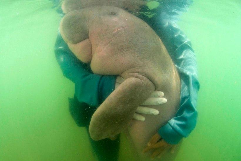 HARULDANE LOOM: Tai rahva uus lemmik on orvuks jäänud dugong