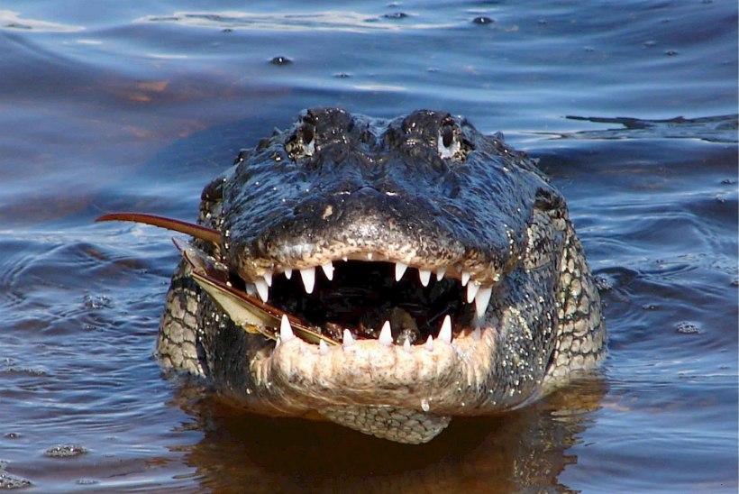 VIDEO   SEE LÄKS NAPILT: alligaator napsas saagi otse kalamehe käest