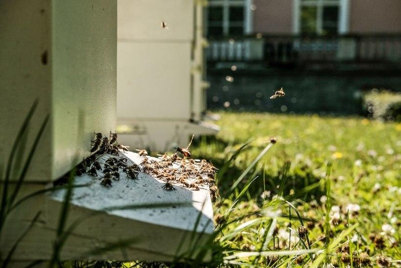 Presidendi mesilastarud ehitati suuremaks