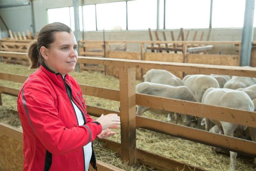 ÕL VIDEO JA GALERII | Itaalia mees toodab Tartumaal eestlastele haruldast lambapiimast juustu