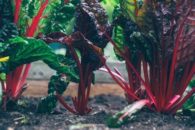 JUULIKUU AIAS: hoolitse köögiviljade, iluaia ja viljapuude eest!