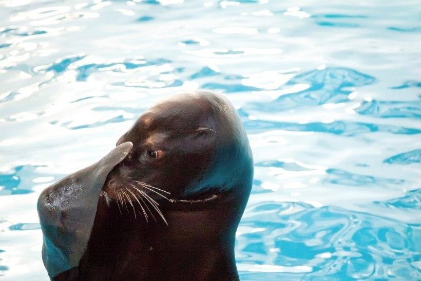 Lastega Leetu: Kaunases ootavad kaelkirjakud ja kolm tuhat kuradit, Kura säärel liivadüünid ja delfiinid