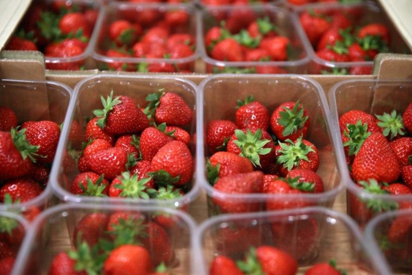 Kontrollid jätkuvad: mürgiseid maasikaid müünud kasvataja põlde uurib järgmine asutus