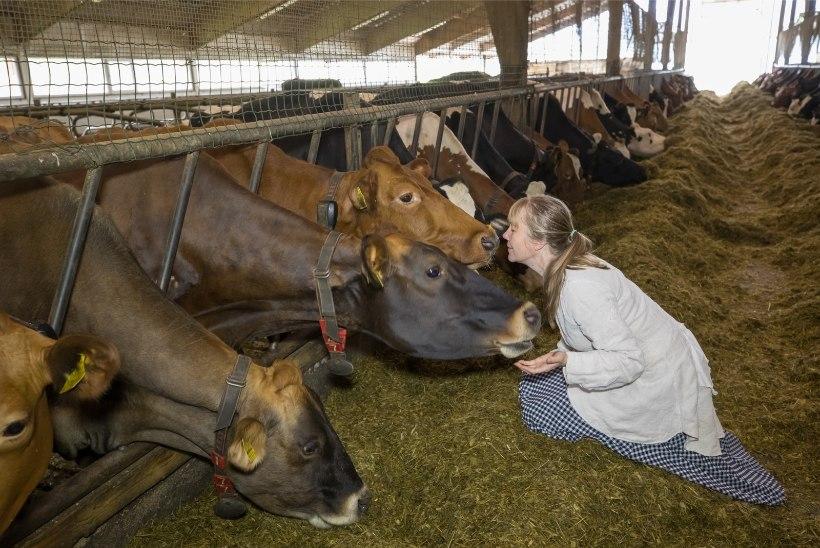 ÕL VIDEO JA GALERII | Suurim väikeste seas: Eesti õnnelikumad lehmad toodavad Eesti popimat käsitööjuustu
