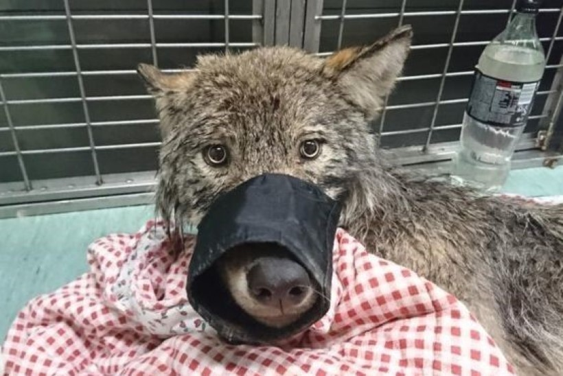 Hundiekspert: Pärnu jõest päästetud hundi kadumise taga on tõenäoliselt salakütt