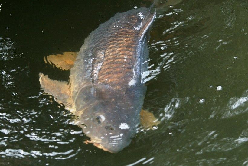Teismeline tõmbas jõest 160 aasta rekordkala