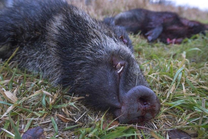 Saare- ja Läänemaalt leiti seakatkuga nakatunud metssigu