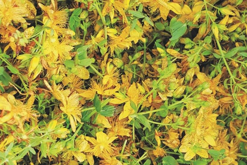 """Heidi Hanso on ravimtaimede lainel: """"Olen taimedest abi saanud nii külmetuste kui ka mõru meele korral!"""""""