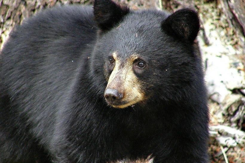 KAVAL MÕMMIK: majja tunginud karu põgenes politseinike saabudes läbi seina