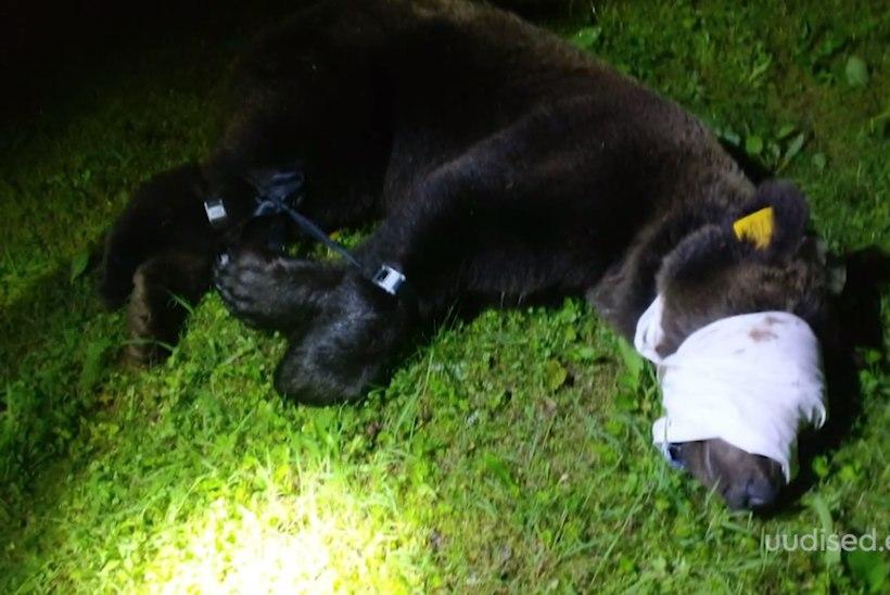 TV3 VIDEO | Lõuna-Eestis tembutanud Vene karu püüti kinni