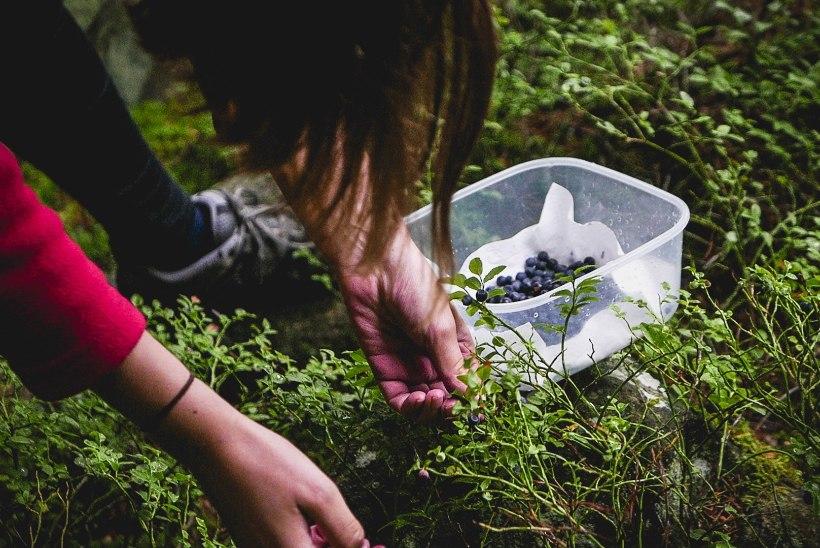 Metsas marju korjates ole tähelepanelik! 5 asja, mille vastu ei tohi eksida