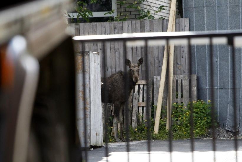 Loomad trügivad linna ja lõppu sellel ei paista
