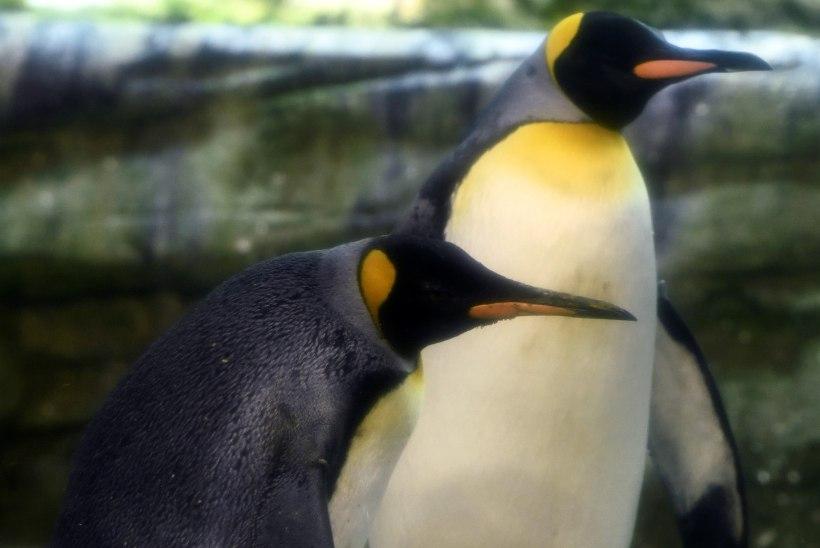 PÜSIVUS VIIB SIHILE: Berliini loomaaia homopingviinipaar saab poja